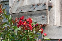 Crepe Myrtle. Red crepe myrtle bu an old wooden window stock photos
