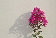 Crepe myrtle tree, bright pink inflorescence Green leaves Reflection background on a white wall royalty free stock photo