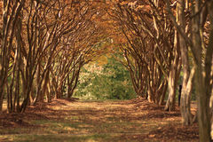 CrepeMyrtle2. Beautiful grove of crepe myrtle trees in the fall Stock Images