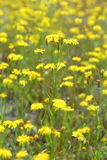 Crepis tectorum. Blooming narrow-leaved hawkmoth summer on the Y Royalty Free Stock Photo