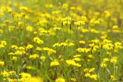 Crepis tectorum. Narrow-leaved hawkmoth in the meadow in Siberia Stock Photos