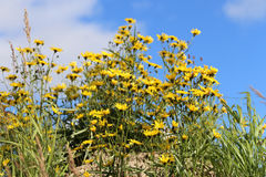 Crepis tectorum Stock Images