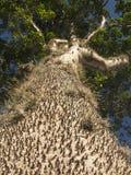 Crepitans étonnants de Hura d'arbre avec des épines dans la forêt tropicale d'Amazone Photos stock