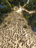 Crepitans étonnants de Hura d'arbre avec des épines dans la forêt tropicale d'Amazone Image stock