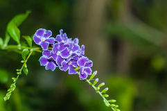Crepping-Himmel-Blume Lizenzfreies Stockbild