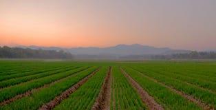 Crepuscolo ad un'azienda agricola della cipolla Fotografie Stock