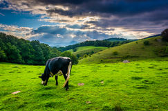 Crepuscular rays over a cow in a field at Moses Cone Park Stock Photo