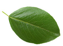 Crerry leaf Stock Photo