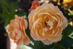 Cresça flores na casa de campo Imagem de Stock