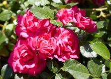 Cresça flores na casa de campo e exsude odores Imagem de Stock Royalty Free