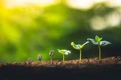 Cresça o cuidado da mão da árvore de café da planta de feijões do café e molhar as árvores que nivelam a luz na natureza fotos de stock
