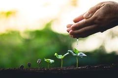 Cresça o cuidado da mão da árvore de café da planta de feijões do café e molhar as árvores que nivelam a luz na natureza fotos de stock royalty free