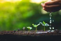 Cresça o cuidado da mão da árvore de café da planta de feijões do café e molhar as árvores que nivelam a luz na natureza foto de stock