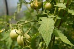 Cresça o tomate Fotos de Stock