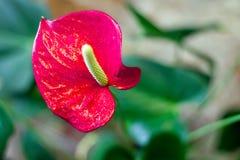 Cresça plantas do antúrio imagem de stock