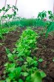 Cresça a salada na estufa Imagens de Stock Royalty Free
