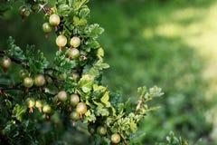 Cresce groselhas maduras em um ramo Foto de Stock Royalty Free