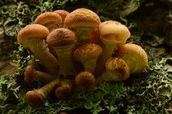Cresce rapidamente o grupo do agaric do mel no tronco de um vidoeiro velho Foto de Stock Royalty Free