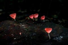 Crescem rapidamente os sulcipes alaranjados de Cookeina do copo dos fungos na madeira da deterioração, foto de stock