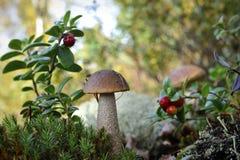 Crescem rapidamente um cogumelo do vidoeiro e uma airela. Fotos de Stock