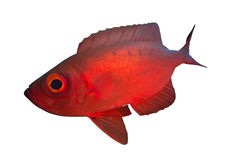 Crescend-tail bigeye. Isolated Stock Photo