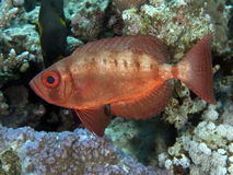 Crescend-tail bigeye. In red sea Royalty Free Stock Photography