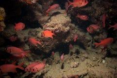 Crescend-tail bigeye in red sea Stock Photo