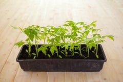 Crescendo e plantando tomates com suas pr?prias m?os Seedlings do tomate imagens de stock
