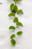 Crescendo in sabbia Fotografia Stock