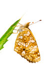 Crescent Butterfly, Genus Phyciodes. On Thistle Leaf with White Background stock photography