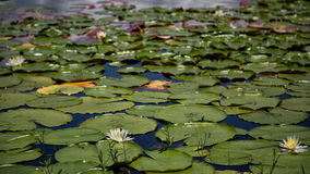 Crescent Lake Lily Pads Clermont Stock Photo