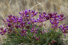 Crescent Milkvetch, Astragalus Amphioxys Stock Photos