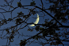 Crescent moon with branches in the night Royalty Free Stock Images