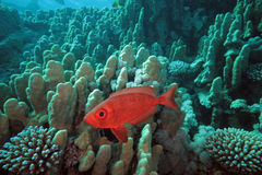 Crescent-Tail Bigeye Royalty Free Stock Photos