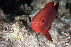 Crescent-tail bigeye Royalty Free Stock Photo