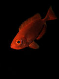 Crescent tail Bigeye Stock Image