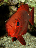 Crescent tail Bigeye Royalty Free Stock Image