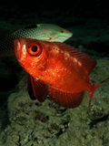 Crescent tail Bigeye. (Priacanthus hamrur). Taken at Ras Mohamed in Sharm el Sheikh Royalty Free Stock Photography