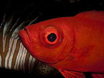Crescent tail Bigeye Stock Photo