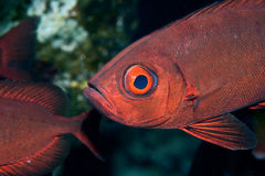 Crescent-tail bigeye. (priacanthus hamrur)taken in the red sea Stock Photography