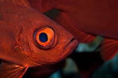 Crescent-tail bigeye. (priacanthus hamrur)taken in the red sea Royalty Free Stock Images