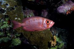 Crescent-tail bigeye Stock Images