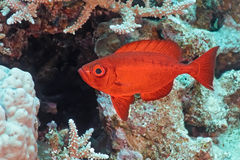 Crescent-tail Bigeye fish Stock Photos