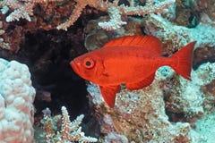 Crescent-tail Bigeye fish Stock Photos