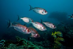 Crescent-tail Bigeye fish swimming together. Royalty Free Stock Photo