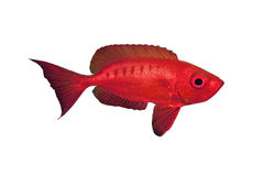 Crescent-tail Bigeye isolated Stock Photos
