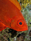 Crescent Tail Bigeye - Priacanthus hamrur Stock Images