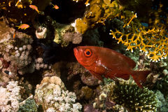 Crescent-tail bigeye (priacanthus hamrur). Taken in Na'ama Bay Stock Photo