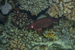 Crescent-tail Bigeye - Priacanthus hamrur Stock Images