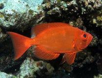 Crescent-tail bigeye, Priacanthus hamrur at Shelenyat Reef Royalty Free Stock Photos